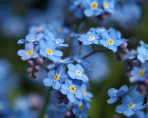tiny blue forget-me-nots
