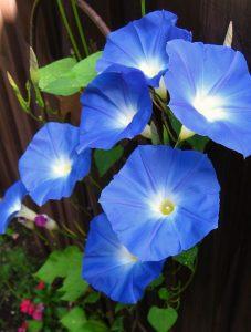 dark blue morning glories