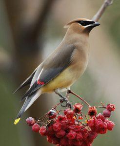 Cedar Waxwing by berries
