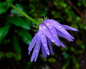 purple flower with raindrops on it