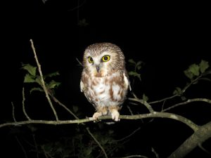 saw-whet owl on branch